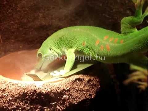 Madagaszkári gekkó táplálkozása